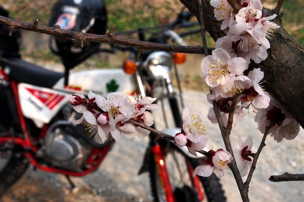 Photos: 梅の花とイーハトーブ