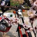 梅の花とイーハトーブ