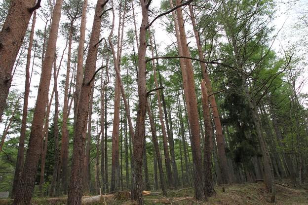見事なアカマツ林。風が吹くと轟音が響きます。