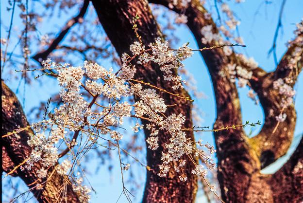 Film-宝珠寺の枝垂桜-3