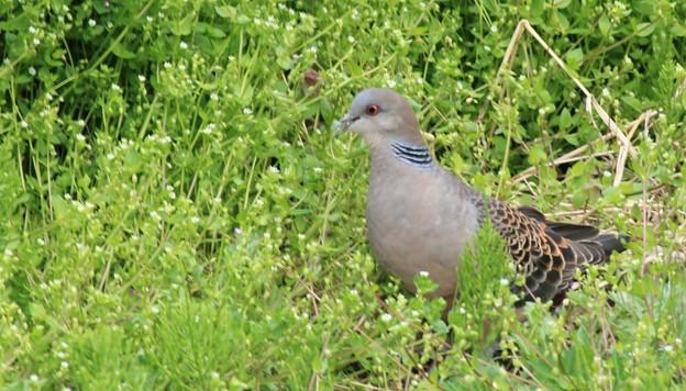 雑草を食べにきた雉鳩  2