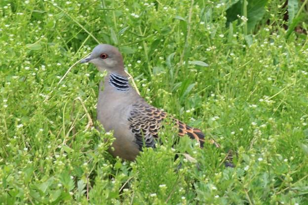 雑草を食べにきた雉鳩  4
