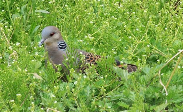 雑草を食べにきた雉鳩  5