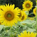 Photos: 黄色い笑顔