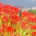 写真: アゲハチョウとヒガンバナ