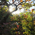 柿の木の木漏れび