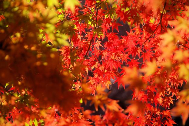 弘法山の紅葉 キラキラ