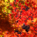 Photos: 弘法山の紅葉 キラキラ