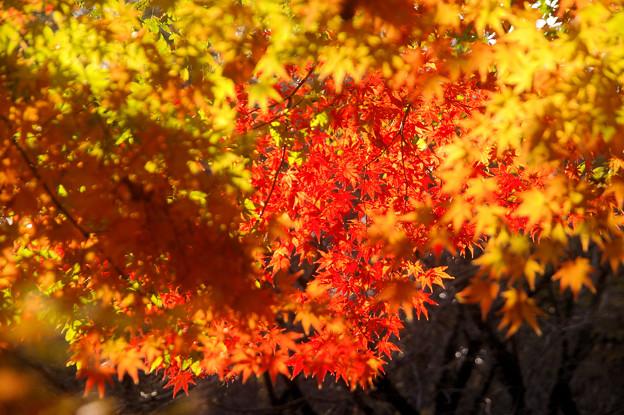 弘法山の紅葉 幾重にも重ねて