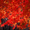 弘法山の紅葉 赤いカーテン