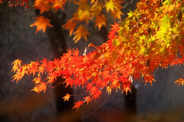弘法山の紅葉 赤い津波