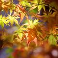 弘法山の紅葉 うららかな黄色
