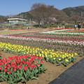 県立秦野戸川公園のチューリップファア 2019。