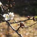 Photos: 咲き出した梅