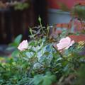 我が家の薔薇自慢