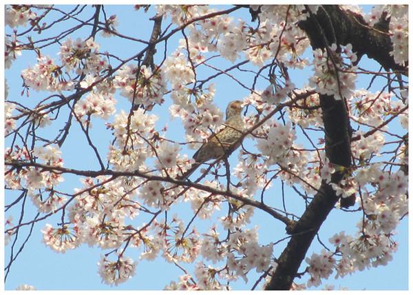 Photos: 揺れる桜の間にて