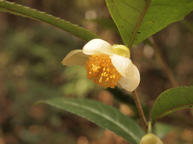 写真: お茶の花