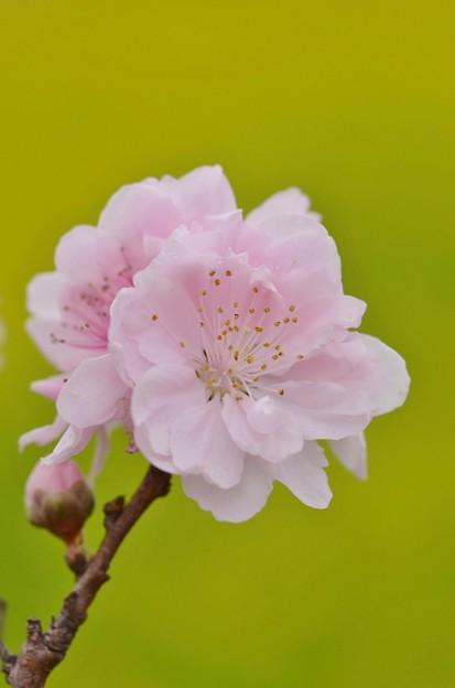 Photos: 桃のお節句