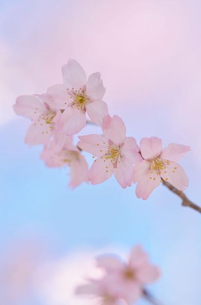 Photos: 啓翁桜(ケイオウザクラ)