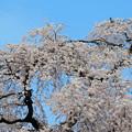 1258林陽寺の桜