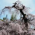 1260雲上の桜