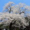 1263板所の桜