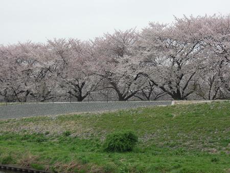 黒目川の桜 02