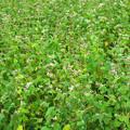 写真: IMG_4986 蕎麦の花終わりかけ