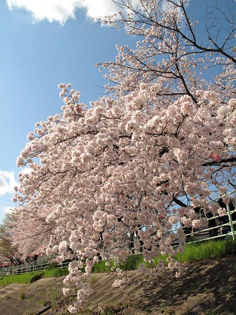IMG_7732 香流川桜