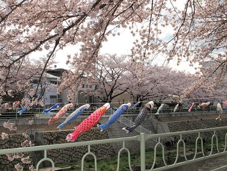 IMG_7700 香流川桜