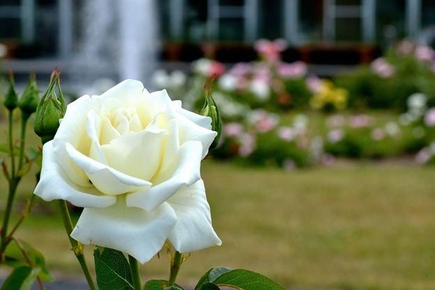 噴水と白薔薇