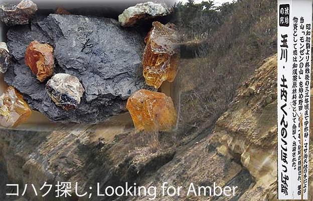 コハク探し;Looking for amber