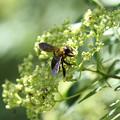 クマバチ(2012/08/19 愛知・東山植物園)