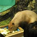 写真: カピバラ(2013/09/07 鳥羽水族館)