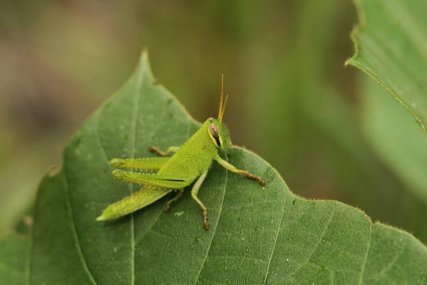 ツチイナゴ幼虫(2012/09/01 愛知・豊田市自然観察の森)