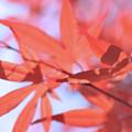 春でも真っ赤♪
