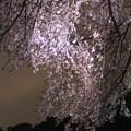 Photos: 夜桜10