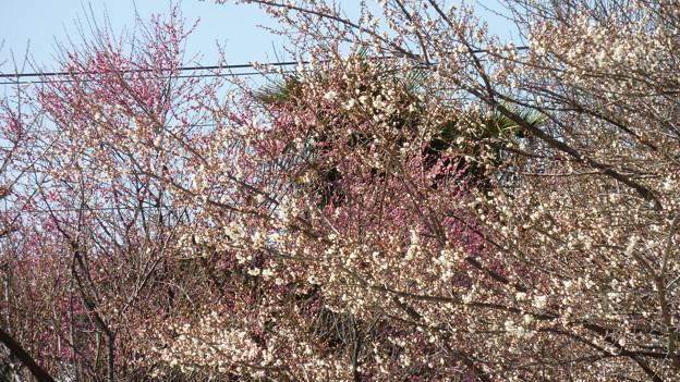 写真: 白梅と紅梅