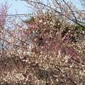 Photos: 白梅と紅梅