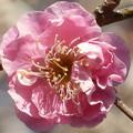 一輪の紅梅の花