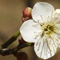 一輪の白梅の花