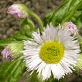 写真: タンポポの花?