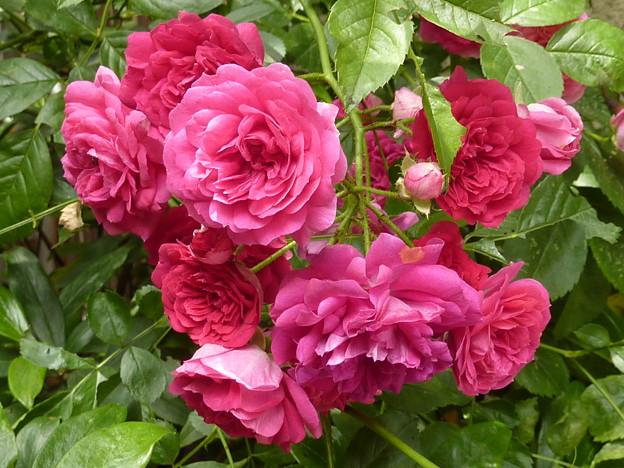 春バラ 2011