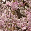 2010年のしだれ桜?