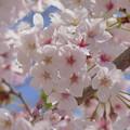 写真: 桜の花園