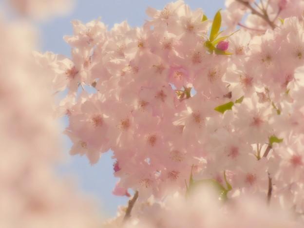 2014年のしだれ桜