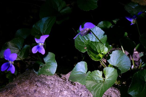 Photos: 夜のすみれ(2)