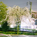 夜のしだれ桜?