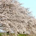 Photos: 金崎の桜