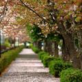 Photos: 桜絨毯